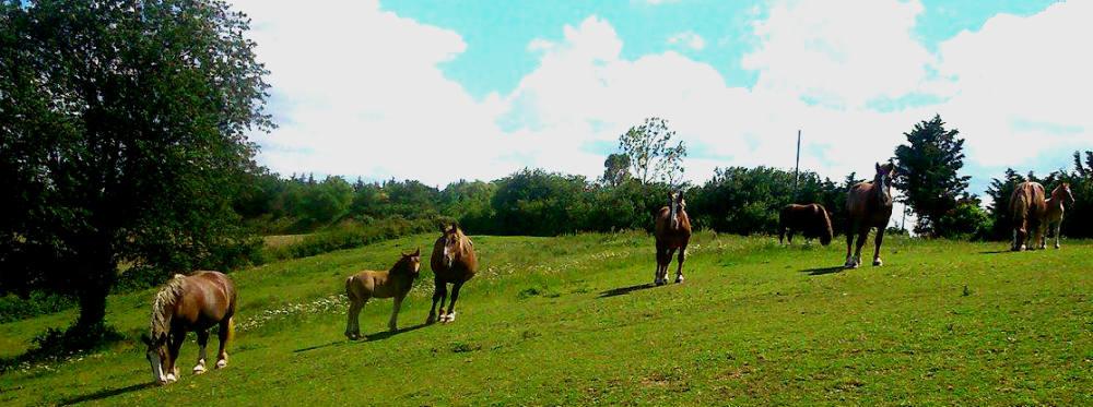 chevaux trait breton, élevage, lait de jument, Ariège, nature, passion, attelage