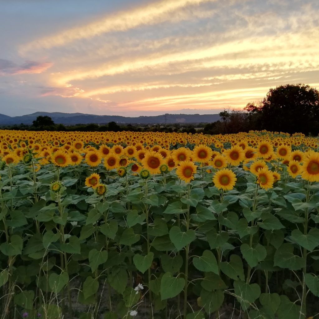 champ de tournesol au coucher du soleil, ciel aux nuances de bleues et roses
